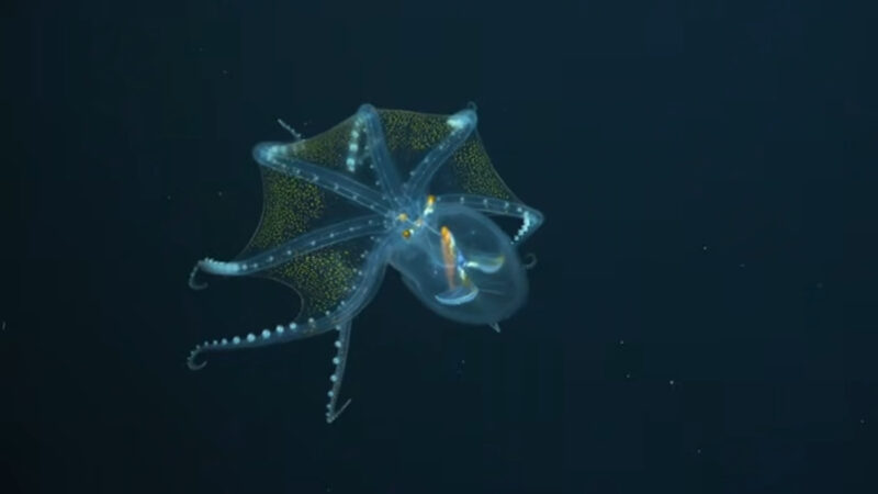 """宛如深海""""移动星空"""" 稀罕玻璃章鱼惊现太平洋"""