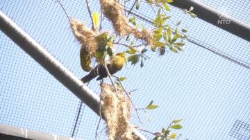 休斯顿动物园首次饲养绿色奥罗本多拉鸟