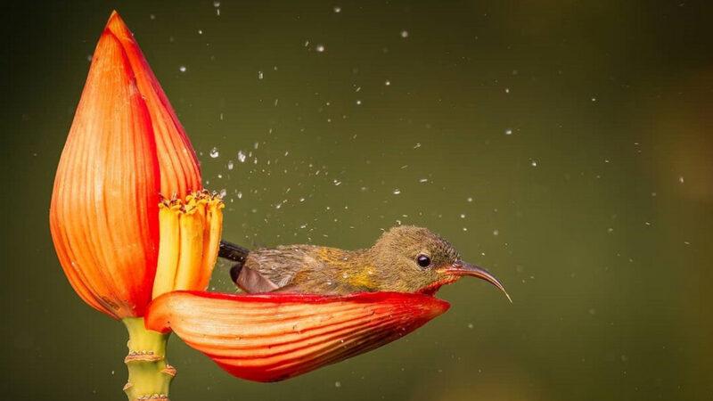宛如童話 袖珍鳥「花瓣當浴缸」愜意泡澡