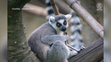 休斯顿动物园降生一只环尾狐猴