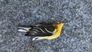 数百只鸟撞纽约摩天大楼死亡 原因不明