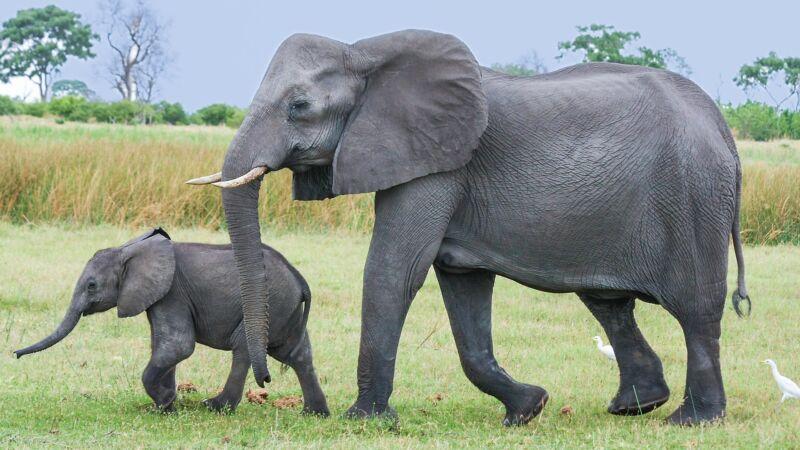 獲救孤兒小象謝恩 野放多年後帶娃「回娘家」