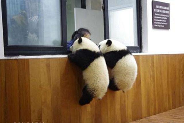 两只熊猫宝宝爬窗台 目的曝光笑喷网友