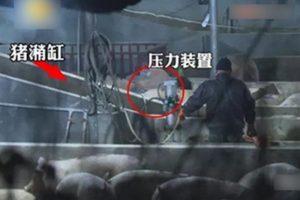 湖南奸商灌生猪吞泥浆10公斤  每只多赚220元