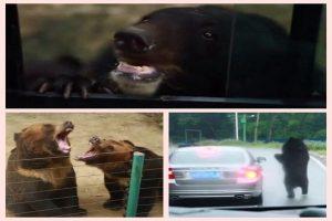 重庆游客动物园开窗游览 黑熊趴车窗讨苹果