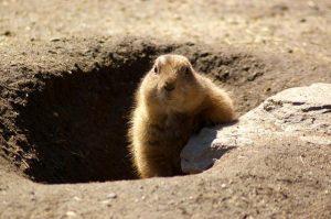 加拿大土撥鼠預測今年早春