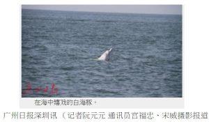"""白海豚""""一家三口"""" 大年三十现身深圳海域"""