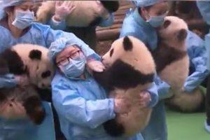难度爆表?还是爆笑!23个大人抱23只熊猫宝宝拍照视频 火爆社媒朋友圈