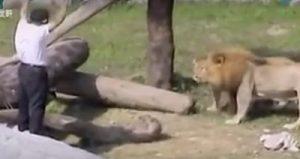 惊心动魄:实拍台湾动物园一男子掉狮子舍里的场面(视频)