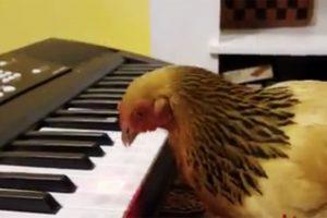 果真是鸡年!老母鸡竟然会弹琴,更夸张的是弹奏的是爱国歌曲!