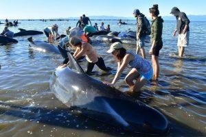 新西蘭擱淺鯨魚危機解除 鯨屍防爆開洞洩氣