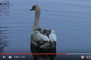 天鹅宝宝钻进妈妈翅膀里 搭便船游湖(视频)