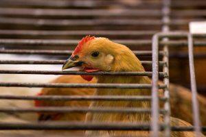 廣州禽類市場查出H7N9病毒  休市延長為13天