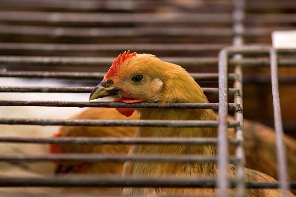 广州禽类市场查出H7N9病毒  休市延长为13天