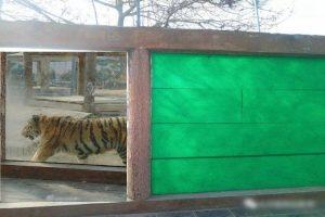 河南虎园玻璃墙破裂用布覆盖 园方称安全
