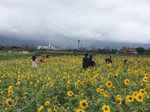 花莲洄澜湾4公顷向日葵 免费采摘带回家