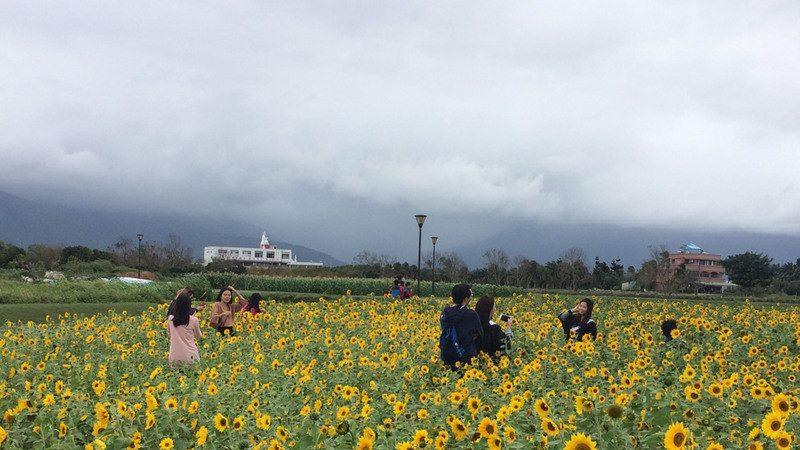 花蓮洄瀾灣4公頃向日葵 免費採摘帶回家