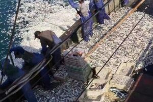 黄花鱼包围渔船 浙民捞到手软 赚12万元