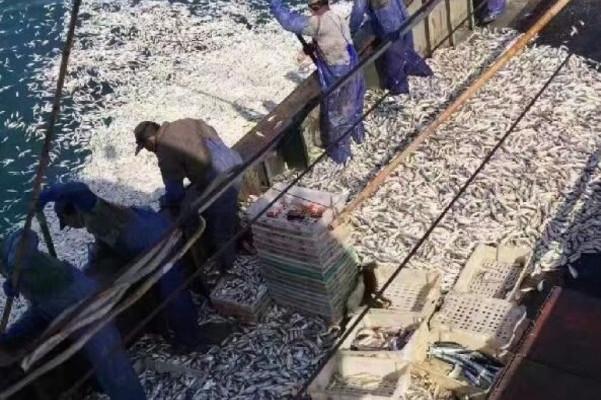 黃花魚包圍漁船 浙民撈到手軟 賺12萬元