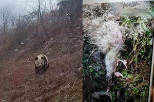 村民圈養山羊遭咬食  四川野生大熊貓也吃肉