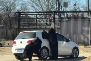 八达岭动物园再现惊人一幕  黑熊伸爪入车内
