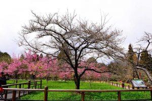 賞櫻得再等一等!氣象局:3月溫暖機會高 花朵應逐漸開花