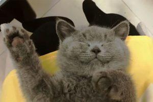 猫咪睡觉睡得正香,被主人捏鼻子,爆笑!喵星人,你是要当招财猫吗?