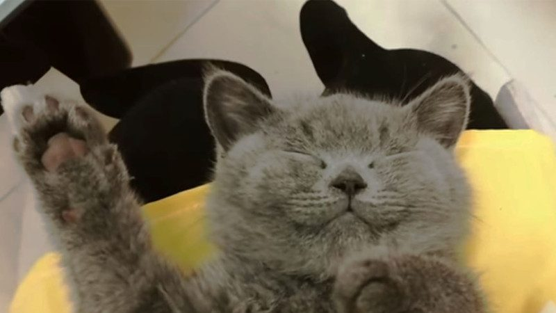 貓咪睡覺睡得正香,被主人捏鼻子,爆笑!喵星人,你是要當招財貓嗎?