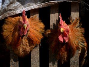 大陸H7N9致死率超三成 今年死亡116例