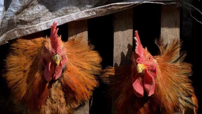 大陆H7N9致死率超三成 今年死亡116例