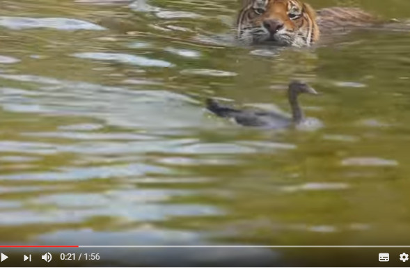 鸭子和老虎在水上大战 眼看就要被一口吃掉 突然鸭子不见了(视频)