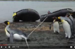 企鹅组团跨绳子 每只都摔跤 居然有一只毫不费力跨过去了(视频)