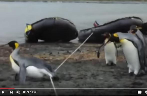 企鵝組團跨繩子 每隻都摔跤 居然有一隻毫不費力跨過去了(視頻)