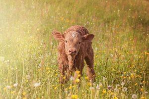 為爭一頭小牛 陝西兩農要求法庭「親子鑑定」