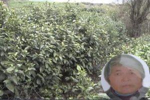 南京农妇采茶被射杀  肇事男:以为是野猪