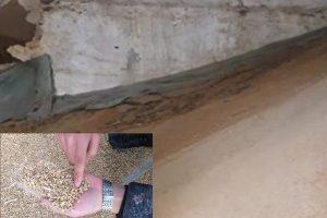 中儲糧發紅小麥銷往麵粉廠   專家:致癌