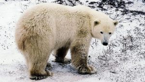 加國學者:全球變暖論危言聳聽 北極熊仍「熊丁興旺」
