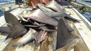 加拿大多倫多市議員投票支持聯邦魚翅進口禁令