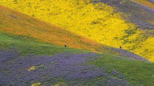 美得壯觀! 暴雨之後 加州爆發「超級開花」奇景