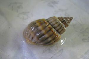 春季毒性尤甚 此螺有劇毒 一顆就可致命 可中國人很愛吃