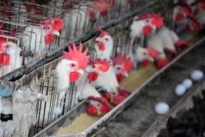戴奧辛蛋來自鴻彰 3萬隻雞撲殺 雞蛋全銷毀