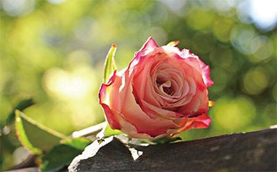 李緣修:淬火的金玫瑰
