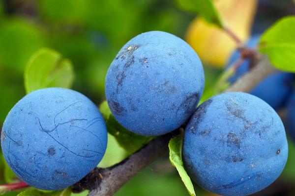 超市藍莓都很貴,教你在家一個桶就種出來!省錢還吃不完