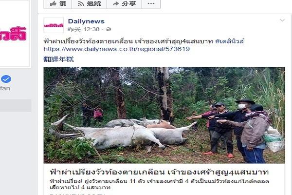 泰北突發大雷雨 11頭牛集體遭雷撃暴斃