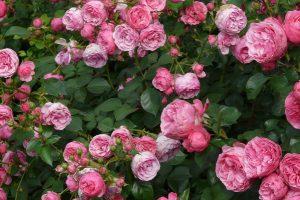 這幾種花不怕曬,反而越曬越旺!