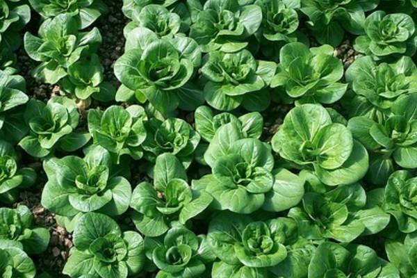 这些绿叶蔬菜为什么会有如此神奇的效果呢?终于找到答案了!