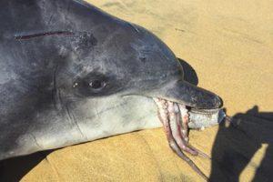 八爪鱼逆袭 海豚活吞巨章鱼窒息 同归于尽