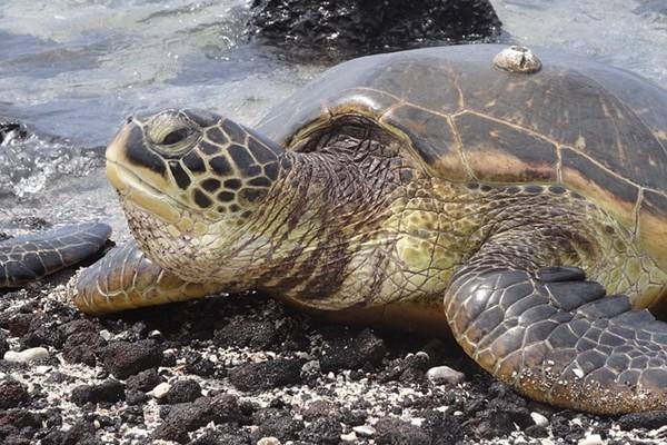 十六年前被救海龟    十六年后救恩人儿子