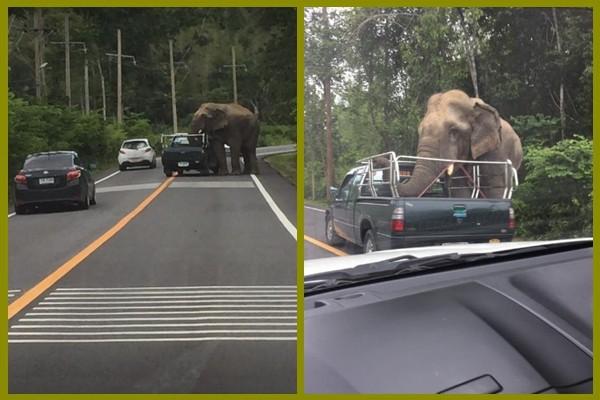 大象搶劫?泰國野生大象因肚子餓 攔車找水果吃