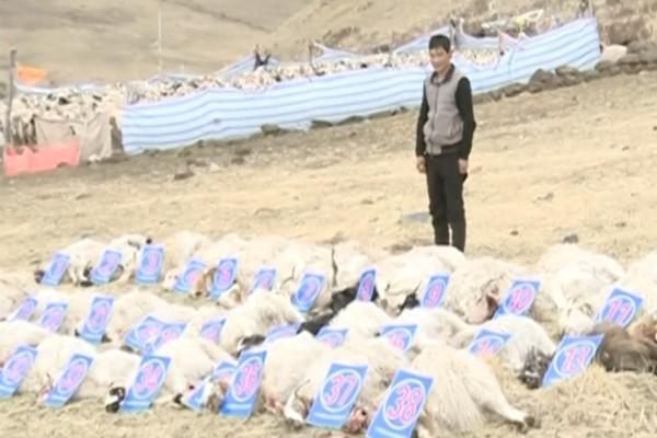 狼群來襲 青海牧場數十羊慘遭擊殺